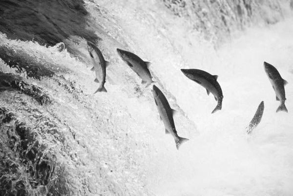 Salmon Jumping in Brooks Falls